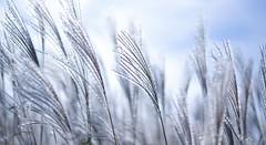 Japanese silver grass  Wakayama / Japan (Kashinkoji) Tags: sony a77 slt silver fox grass nature outdoor 50mm