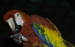 And Furthermore (Bill Gracey) Tags: scarletmacaw parrot bird nature naturalbeauty sandiegozoo color colorful
