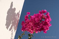 DSC07255_s (AndiP66) Tags: sigma24105f4 thira egeo griechenland gr bougainvillea blue white blau weiss blumen flowers firostefani santorini santorin thera greece cyclades kykladen caldera aussicht view september 2016 hellas ellada sony sonyalpha 7markii 7ii 7m2 a7ii alpha ilce7m2 sigma24105mmf4dghsmart sigma 24105mm amount laea3 andreaspeters