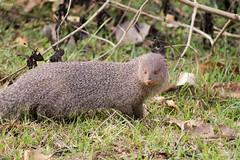 Ruddy Mongoose (Deepu Cyriac) Tags: animals bandipurnp bandipur bandipurwildlifesanctuary bandipurtr karnataka nature nilgiribiosphere wildlife westernghats travel indianforest mongoose ruddymongoose tusker