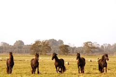 paarden3713.JPG (Harmke) Tags: friesian horses nfw eastermar bocage