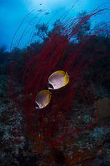 DSC_2630 (Mgungen) Tags: underwater underwaterphotography colourful nikon d7100 subal tokina 1017 inon z240 indonesia rajaampat diving scuba wideangle sea ocean coral reef misoolecoresort