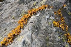 Thuilette 07 (maurizio.broglio) Tags: la thuile comba thuilette salix herbacea