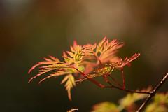 Acer (hippyczich) Tags: acer leaves dissectum autumn colour