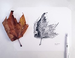 Happy Thanksgiving!  // drawing a subject that's changing while looking at it... (Dan Hogman) Tags: thanksgiving sketch fall leaf