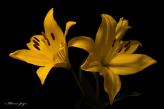 Yellow Lilly Pair 0914 Copyrighted (Tjerger) Tags: nature asian black blackbackground bloom brown closeup duo flora floral flower green leaves lilly macro pair petals pistals plant portrait stamen stem summer two wisconsin yellow natural