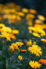 Marigold (Eklis273) Tags: ringelblume calendulaofficinalis marigold gelb orange grn yellow green outdoor garten garden blume flower dof samyang sonya6000