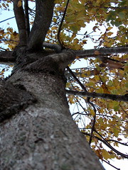 Tree With Yellow Leaves. (dccradio) Tags: lumberton nc northcarolina robesoncounty outdoors outside nature tree trees foliage sky autumn leaves yellowleaves treetrunk fall