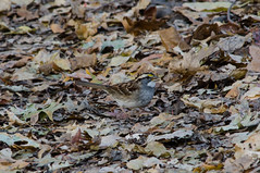 White Throated Sparrow (Neil DeMaster) Tags: bird songbird sparrow whitethroatedsparrow wildlife nature conservation njwildlife