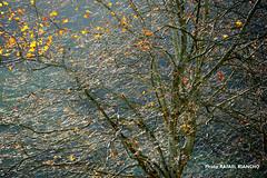 NOVIEMBRE / 2657HGS (Rafael Gonzlez de Riancho (Lunada) / Rafa Rianch) Tags: rboles otoo ojas contraluz trees autumn leaves backlighting cantabria