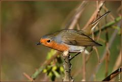 Rouge gorge familier ( Erithacus rubecula ) (norbert lefevre) Tags: oiseau nature plumage rougegorge familier d500 nikon