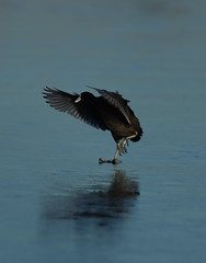 Ice Dancing Coot2 (leebanderson201067) Tags: bird ice cold coot ngc wwt