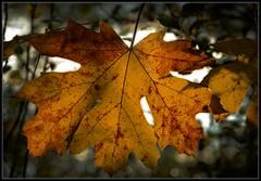 Leaf Dream (Ernie Misner) Tags: wapatopark tacomawa tacoma washington autumn ortoneffect erniemisner nik capturenx2 cnx2 f8andnailfocusmaybe