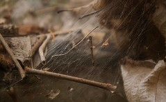 Twigs Caught In Web (Photographs By Wade) Tags: collinsville oklahoma fall autumn webbing webworm webs woods trees twigs sticks
