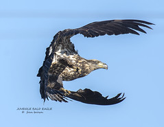 JUVENILE BALD EAGLE  FB2_1846 (francesbrown266) Tags: coth5 sunrays5