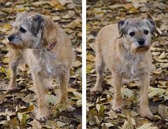 Penny (Preston Ashton) Tags: penny princess pooch dog border terrier borderterrier face autumn leaves leaf park outdoor outside k9 prestonashton canine