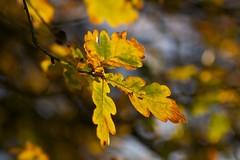 Oak (Future-Echoes) Tags: 4star 2011 autumn bokeh depthoffield dof leaf leaves nature tamron tamronsp90mmf2811macro
