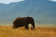12 August * World Elephant Day (Jose Antonio Pascoalinho) Tags: africa elephant nature field animal fauna giant tanzania mammal outdoor wildlife conservation biosphere bull ngorongoro crater wilderness grassland biodiversity paquiderme safariphotography zedith