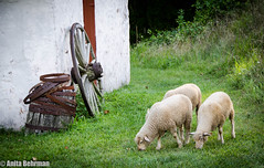 Meandering Hopewell Sheep (Anitab) Tags: grass animal wheel sheep barrel rusty hopewellfarm