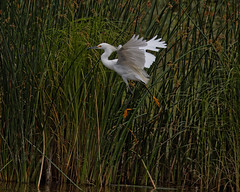 30-mph Wind Makes Landing Tough (dcstep) Tags: usa reeds wings pond colorado wind windy blowing landing dxo egret allrightsreserved cattail snowyegret bif outofcontrol birdinflight cherrycreekstatepark 30mphwind canon7dmkii ef500mmf4lisii ef14xtciii copyright2015davidcstephens dxoopticspro104 y6a9883dxosrgb