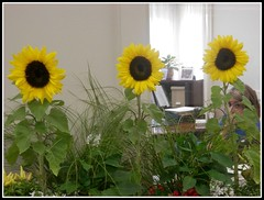 Three Sunflowers At Lowell 5 Bank - Photo by STEVEN CHATEAUNEUF - August 21, 2015 (snc145) Tags: red usa white plant green window girl yellow wall three photo massachusetts curtain gray indoors sunflowers chelmsford stevenchateauneuf thelowell5bank august212015