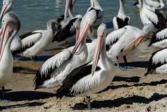 Must Look Our Best! (Jocey K) Tags: pelicans water birds river sand labrador shadows australia queensland surfersparadise goldcoast triptoqueenslandbrisbane