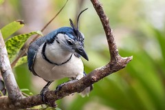 White-throated Magpie-jay (arthurpolly) Tags: nature birds canon eos costarica jay avian nationpark naturesfinest whitethroated 100400is magpiejay platinumphoto impressedbeauty avianexcellence flickrdiamond unforgettablepictures natureselegantshots 7dmk2 elements13
