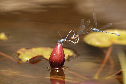 Dragonfly orgy