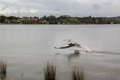 Flight to Hunt (arnabjosephite) Tags: lake bird flight australia canberra hunt lakegriffin