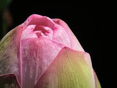 2013.7.8 hasunohana 030 (Jeong Kab Cheol) Tags: flower lotus  201378hasunohana