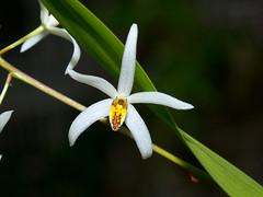 epigeneium cacuminis (Eerika Schulz) Tags: epigeneium cacuminis orchidee orchids orchideen orchid eerika schulz