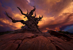 Marc Adamus Rider of the Tempest (piojill4rt) Tags: old sunset tree pine oldest gnarled bristlecone