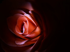 Resting Rose (josephburden58) Tags: pink stilllife flower rose closeup fujifilm x10