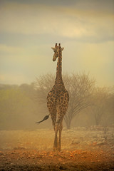 Giraffe in a dust storm (paulafrenchp) Tags: