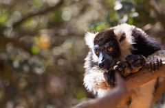 LEMUR-PARK-57 (RAFFI YOUREDJIAN PHOTOGRAPHY) Tags: park city travel trees plants baby white cute green animal fauna canon river jumping sweet turtle wildlife bricks mother adorable adventure explore lemur 5d lemurs bushes madagascar 70200 antananarivo mkiii