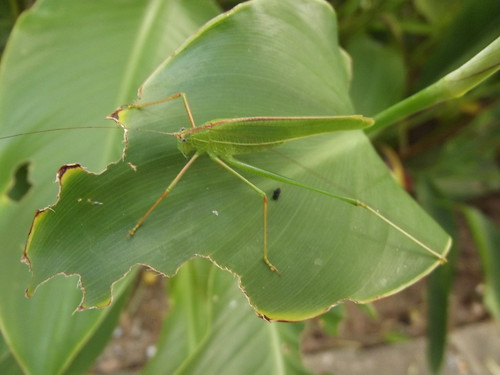 Tettigoniidae-Katydid-ตั๊กแตนอเมริกันขนาดใหญ่