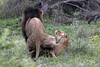 Kapama/Africa_do_Sul/Dez.2014 (e.markun) Tags: southafrica lion leão africadosul coito kapama mateing