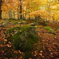 Stanshuvud Nationalpark X (Gustaf_E) Tags: old autumn tree forest landscape nationalpark skne woods sweden skog sverige dis beech hst trd morgon landskap gammal stenshuvud bokskog