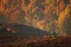 The spirit of autumn past (hvhe1) Tags: morning autumn wild holland fall nature colors animal fog landscape nationalpark wildlife thenetherlands doe reddeer veluwezoom indiansummer cervuselaphus edelhert rothirsch hvhe1 hennievanheerden cerfélaphe