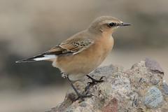 Wheatear. (stonefaction) Tags: beach nature birds scotland fife wildlife leuchars wheatear