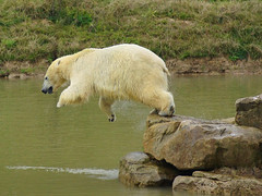 Pixel the Polar Bear (Kerry711) Tags: park wild animal lens minolta action wildlife sony south bears yorkshire pixel polar 75300mm a77