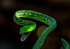Green Strike (Joshi.Raghavendra) Tags: macro greenvinesnake tamron150600