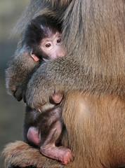 mantelbaviaan emmen JN6A9872 (j.a.kok) Tags: monkey baboon emmen baviaan papiohamadryas mantelbaviaan hamadryasbaboon