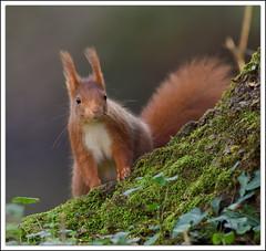 Ecureuil roux (guiguid45) Tags: nature nikon forêt écureuil sauvage loiret mammifères 500mmf4 d810
