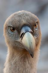 Mirada inquisitiva (Aicbon) Tags: animal canon de hide raptor campo vulture aire libre 100400mm pjaro buitre griffon lleida rapaz gyps fulvus profundidad llobera alinya figols carroero voltor rapinyaire carronyaire