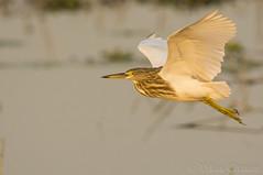 Indian Pond Heron. (Vikas.B.Chavan) Tags: nikon d7100 afs nikkor 300mm f4difed tc 14e ii naturethroughthelens