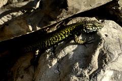 Sunbath (Guido Giachetti) Tags: muro verde green quiet afternoon calm holes sunbath lizard di sole sassi bagno calma secco lucertola sesto pomeriggio rettile quiete fiorentino fessure pallido assorto meriggiare dorto