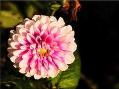 Autumn Beauty (Ostseetroll) Tags: deu deutschland geo:lat=5407412171 geo:lon=1077924414 geotagged hansapark schleswigholstein sierksdorf makroaufnahme macroshot dahlie dahlia herbst autumn blte blossom