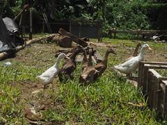 P9270061 (tonkonogov) Tags: indonesia bali ubud