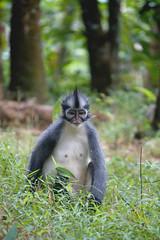 Sumatra (goossi) Tags: mono sumatra indonesia bukit lawang selva